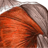【胸部筋肉の名称と作用】胸腕筋群の全筋肉を解説