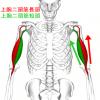 【上腕二頭筋の部位別筋トレ】長頭と短頭それぞれに効果的な鍛え方