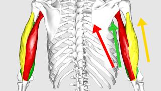 【上腕三頭筋の部位別筋トレ】長頭と短頭(内外側頭)それぞれに効果的な鍛え方