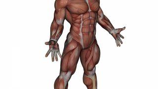 【筋肉名称デジタル図鑑】各部位(胸筋・背筋・肩・腕・腹筋・脚)の名前・作用・筋トレ方法