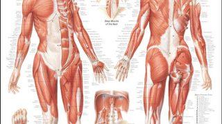 【筋肉の名前】女性のダイエットのために各部位の名称・作用・筋トレ方法を図説